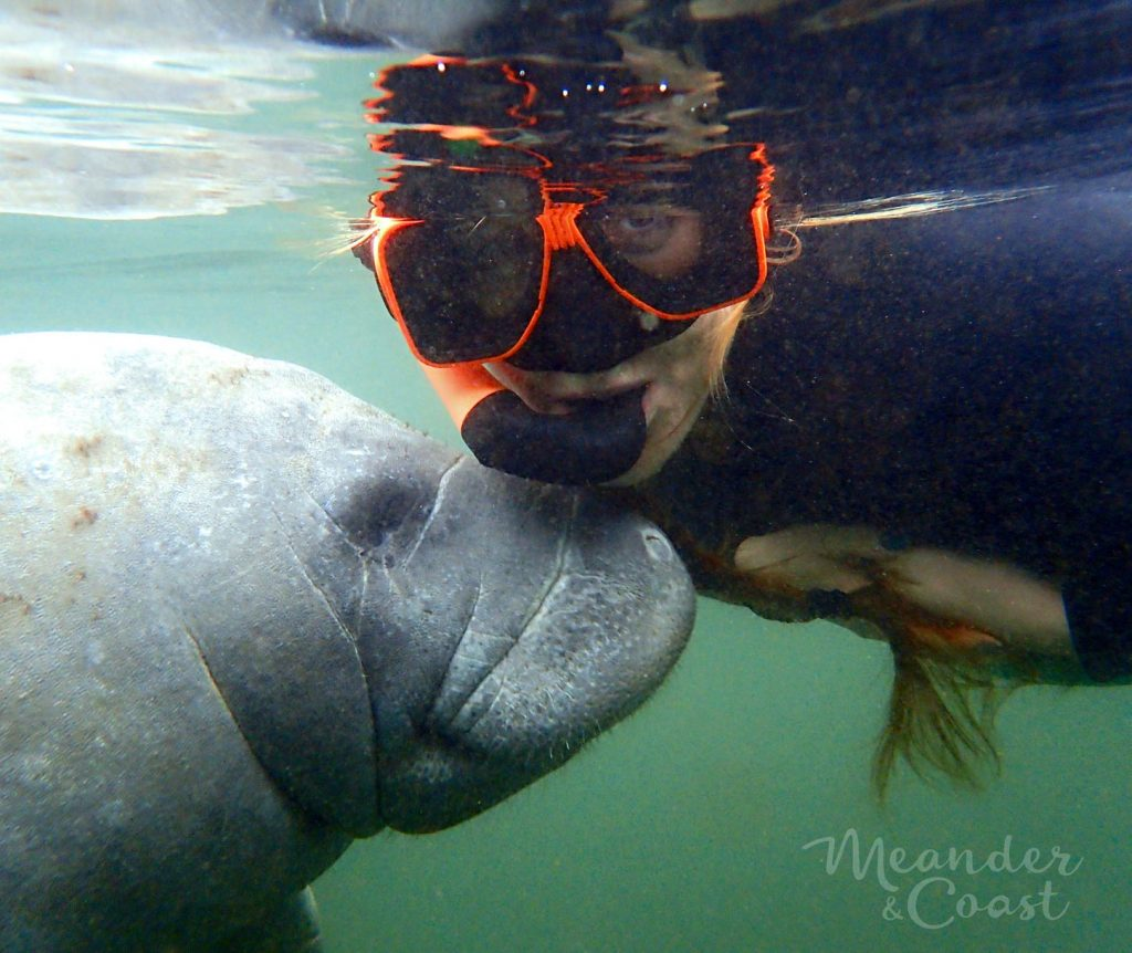 Sea Cow Kisses! Swim with the manatees near Orlando in Homosassa Springs, Florida. | Meander & Coast #swimwithmanatees #homosassasprings #crystalriver #manatees
