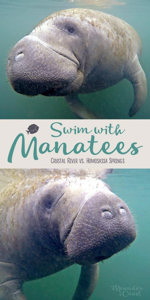 I need to do this next year! Swimming with manatees in Florida. | A look at Homosassa Springs vs. Crystal River from Meander & Coast