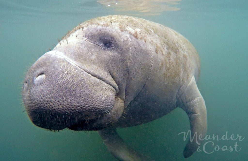 On my bucket list! Swimming with manatees in Florida.   An experience report from Meander & Coast.