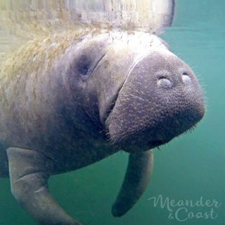 Close up Manatee Photo. Swimming with Manatees in Florida