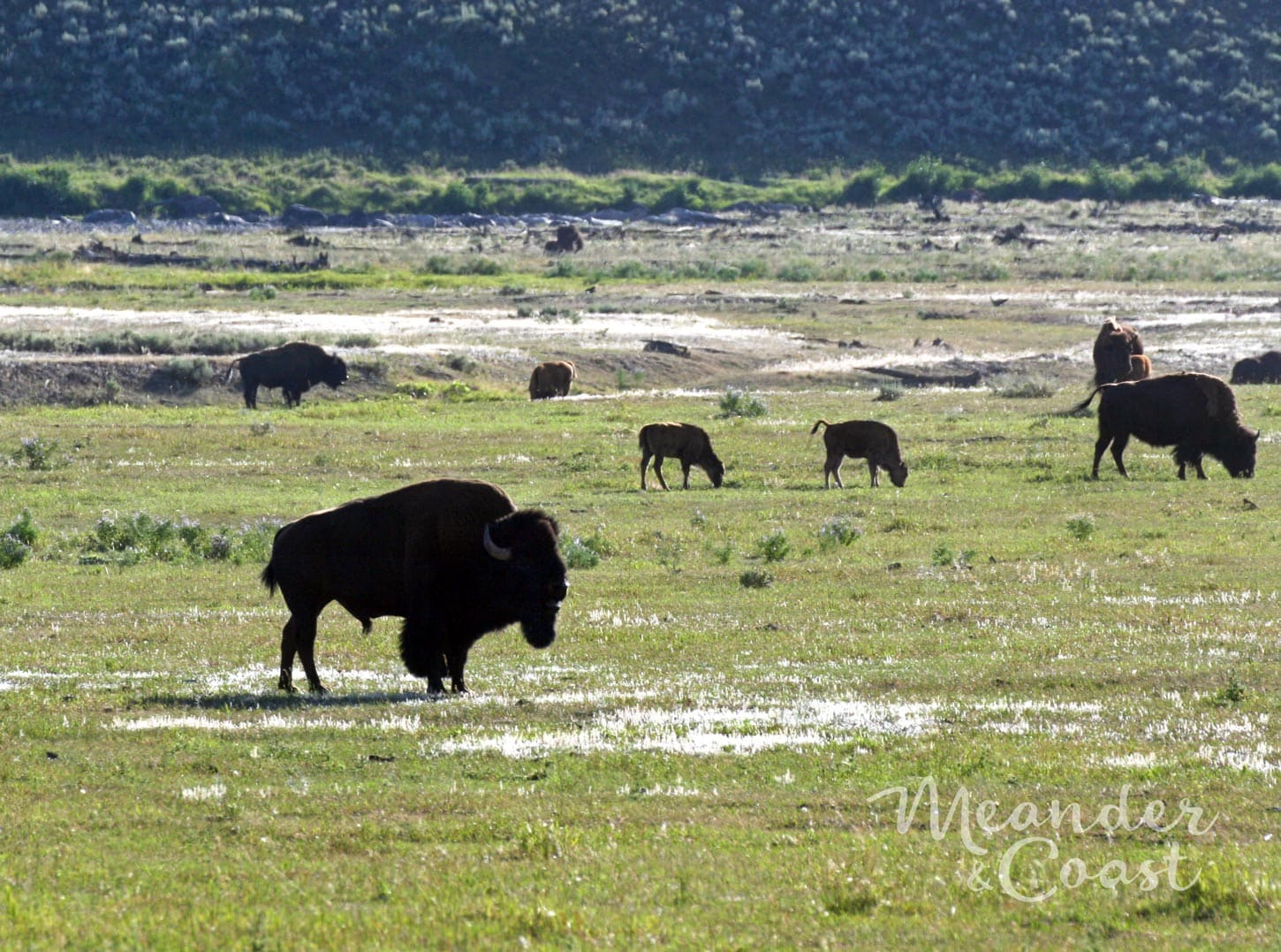 Thousands of bison live here! Lamar Valley Bison, Yellowstone National Park. | Must See Yellowstone National Park Attractions from Meander & Coast travel blog.#yellowstone #nationalpark #yellowstoneattractions #thingstosee #wyoming #lamarvalley #bison #wildlife